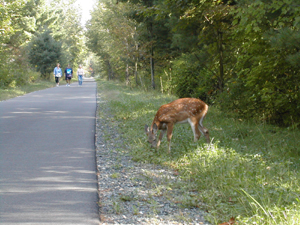 Doe on the side of the road